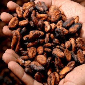 Cacao (Theobroma cacao)