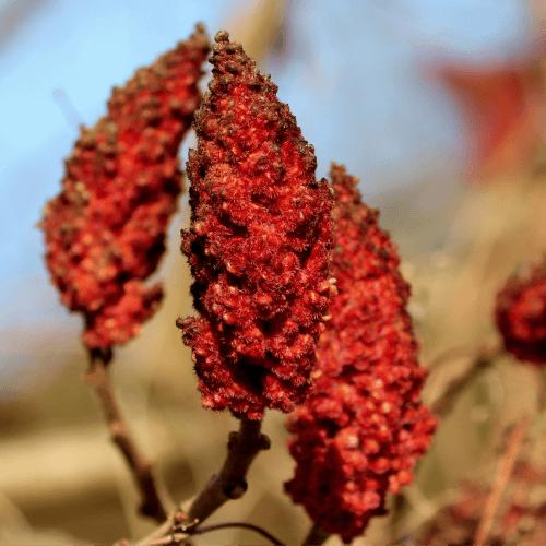 Sumac (Rhus coriaria)